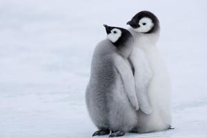 Πώς αντέχουν το πολικό ψύχος οι πιγκουίνοι