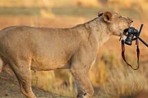 Η λέαινα που έχει αδυναμία στις φωτογραφικές μηχανές