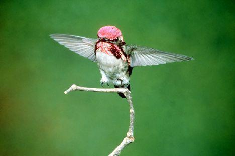 Πτηνό σε μέγεθος εντόμου