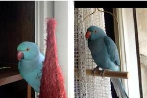 Χάθηκε γαλάζιος παπαγάλος στην Πλάκα