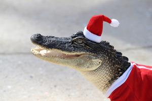 Σε χριστουγεννιάτικο πνεύμα αλιγάτορες στη Λουιζιάνα