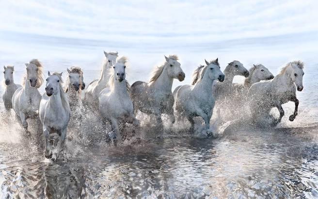 Λευκά άλογα φωτογραφίζονται στις όχθες της θάλασσας