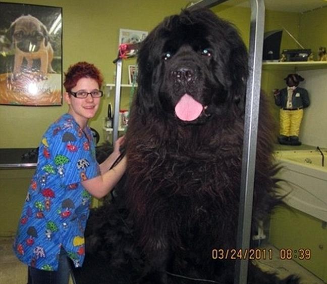 D0OG1 ΔΕΙΤΕ: Φωτογραφίες από τα μεγαλύτερα σκυλιά στο κόσμο!