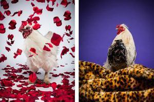 Κοτόπουλα σε ρόλο μοντέλων