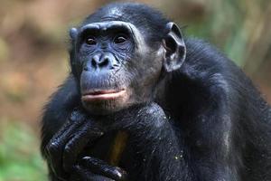 Ζητούν να αναγνωριστούν οι χιμπατζήδες ως φυσικά πρόσωπα