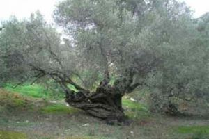 Κόβουν υπεραιωνόβια ελαιόδεντρα για καυσόξυλα