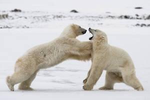 Πολικές αρκούδες γίνονται καφέ λόγω κλιματικής αλλαγής