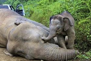 Ελεφαντάκι προσπαθεί να «ξυπνήσει» τη νεκρή μητέρα του