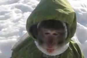 Μια μαϊμού με μπουφάν παίζει στο χιόνι