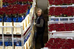 Αγώνας δρόμου για την εξαγωγή εκατομμυρίων λουλουδιών