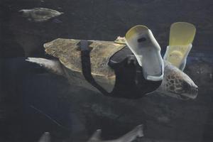 Χελώνα καρέτα-καρέτα κολυμπά με προσθετικά πτερύγια