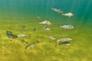 Τα αγχολυτικά κάνουν τα ψάρια αντικοινωνικά