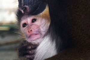 Σπάνια μαϊμού γεννήθηκε στη Βρετανία