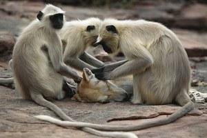 Υπηρεσίες μασάζ από... πίθηκους