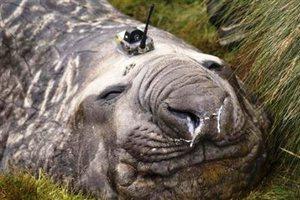 Θαλάσσιοι ελέφαντες βοηθούν τους επιστήμονες