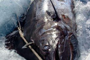 Έπιασε ψάρι 600 κιλών... με καλάμι!