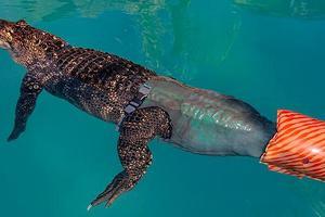 Αλιγάτορας με τεχνητή ουρά