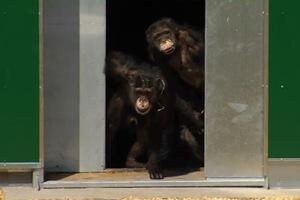 Χιμπατζήδες-πειραματόζωα βλέπουν το φως του ήλιου για πρώτη φορά