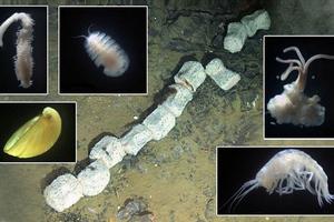 Μικροοργανισμοί μετέτρεψαν σε «σπίτι» το σκελετό φάλαινας