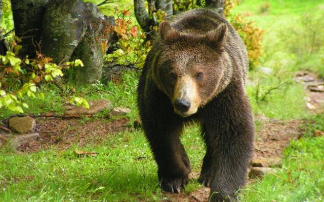 Πώς η απαγόρευση κυνηγιού άλλαξε τη ζωή των αρκούδων στη Σουηδία