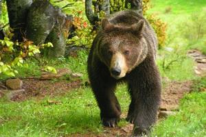 Έξι αρκούδες υπό στενή δορυφορική παρακολούθηση