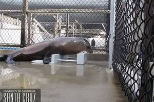 Το πρώτο θαλάσσιο λιοντάρι που μπορεί να κρατά το ρυθμό
