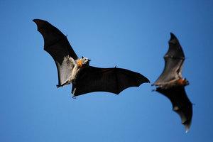 Σε στοματικό σεξ επιδίδονται οι νυχτερίδες