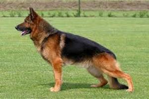 Έκλεψαν σκύλο 6.000 ευρώ αλλά πιάστηκαν λόγω... GPS