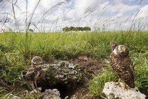 Οι κουκουβάγιες που τρυπώνουν στο έδαφος