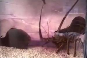 Θαλάσσιο σαλιγκάρι εξολοθρεύει αστακό με μωβ μελάνι