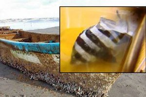 Ψάρι που επέζησε από το τσουνάμι βρέθηκε στις ΗΠΑ