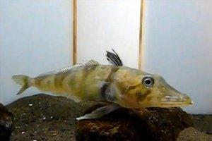 Ανακαλύφθηκε ψάρι με διάφανο αίμα