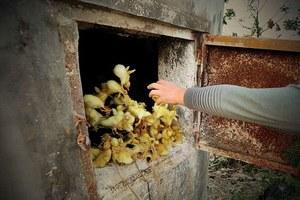 Χιλιάδες πτηνά θανατώνονται υπό το φόβο της γρίπης