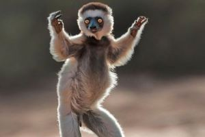 Γνωρίστε τους λεμούριους της Μαδαγασκάρης