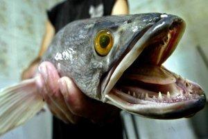 Επικήρυξαν ξενικό ψάρι που ζει έξω από το νερό για ημέρες