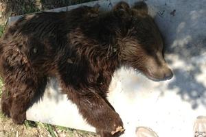 Νέο τροχαίο ατύχημα με αρκούδα στην Εγνατία Οδό