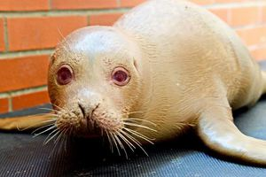 Μικρή φώκια αλμπίνος εγκαταλείφθηκε από τη μητέρα της
