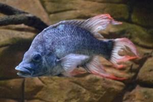 Ψάχνουν «νύφη» για το πιο άσχημο ψάρι του κόσμου