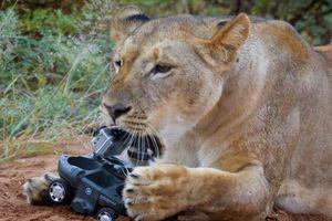 Στα σαγόνια του λιονταριού