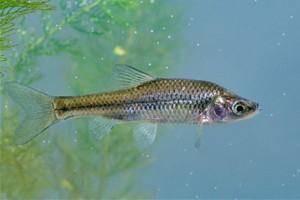 Δηλητηριάζουν λίμνες και ποτάμια για να ξεφορτωθούν επικίνδυνο ψάρι