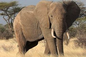 Οι ελέφαντες υποφέρουν από μετατραυματικό στρες