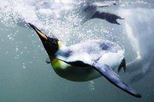 Οι πιγκουίνοι «θυσίασαν» την ικανότητά τους να πετούν