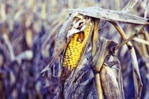 Κλιματική αλλαγή και ξηρασία φέρνουν ανθεκτικότερο μεταλλαγμένο καλαμπόκι