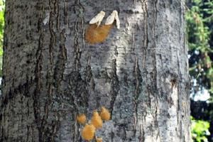 Εκτεταμένες προσβολές εντόμων σε δασικά οικοσυστήματα