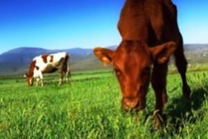 Ο ρόλος των εκπομπών αερίων της κτηνοτροφίας στην κλιματική αλλαγή