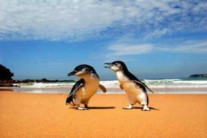Τσοπανόσκυλα έσωσαν απειλούμενους πιγκουίνους από την εξαφάνιση