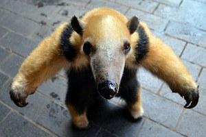 Η νέα μασκότ του ζωολογικού κήπου του Λονδίνου