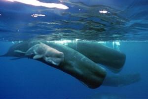 Πώς οι φάλαινες κρατούν την αναπνοή τους για 90 λεπτά