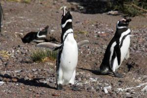 Δυο εκατ. τόνους θαλασσινά καταβροχθίζουν οι πιγκουίνοι του Μαγγελάνου