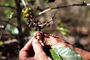 Ο καφές κινδυνεύει από καταστροφικό μύκητα